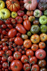 biodiversite-de-tomates