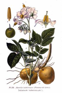 234_Solanum_tuberosum_L